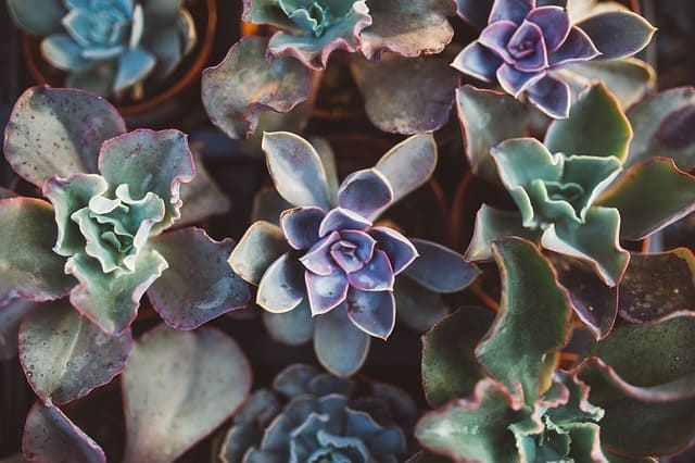 how to buy succulent