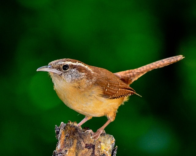 40 BEAUTIFUL BACKYARD BIRDS IN LOUISIANA WITH PICTURES ...
