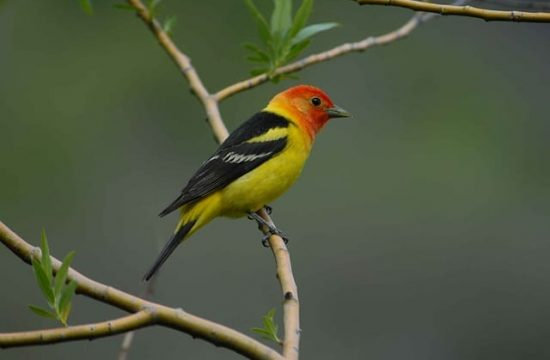 WESTERN-TANAGER-3