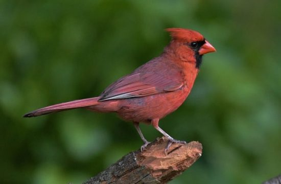 northern cardinal - Image by Jack Bulmer from Pixabay
